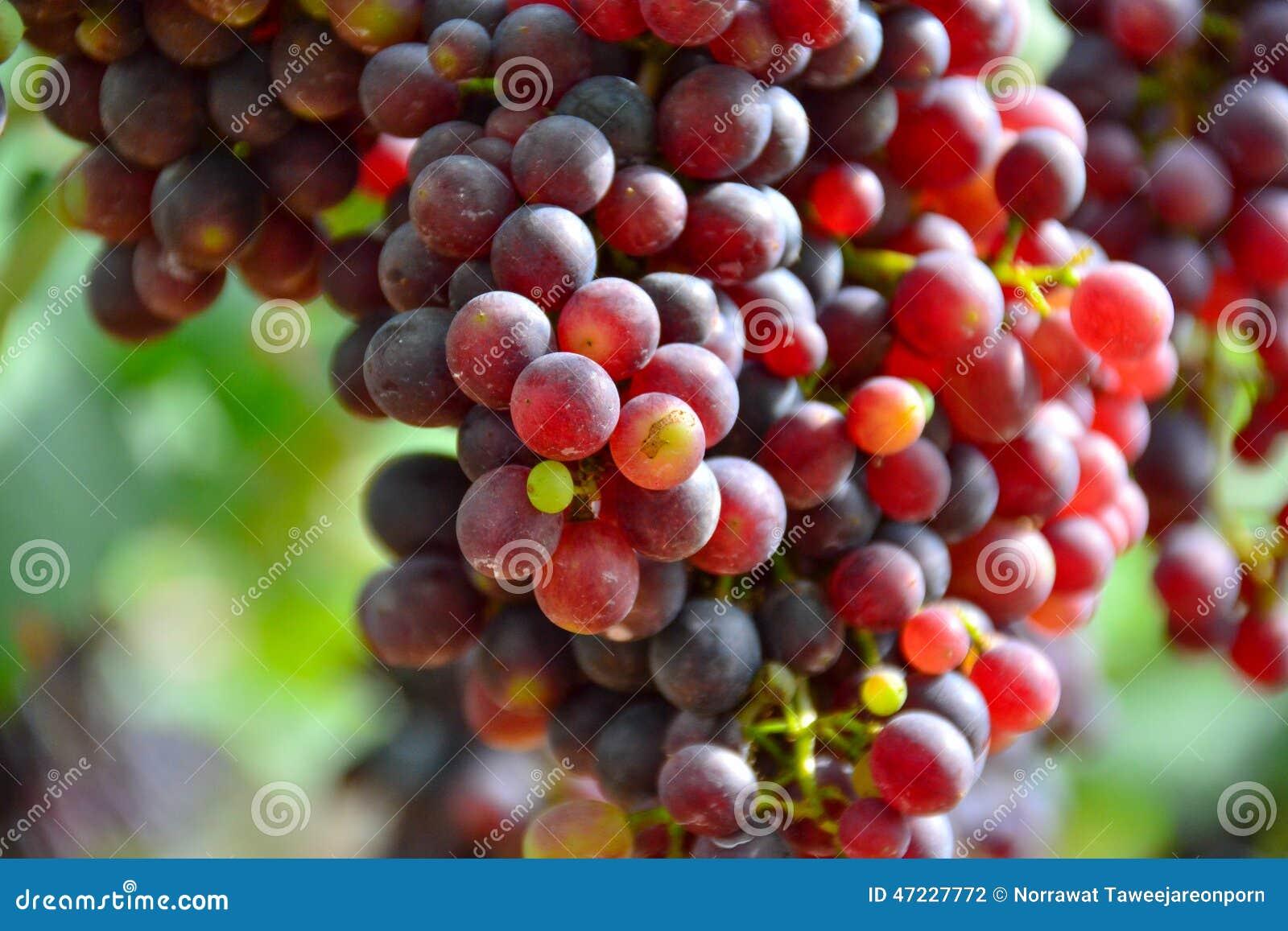 Winogron czerwonych