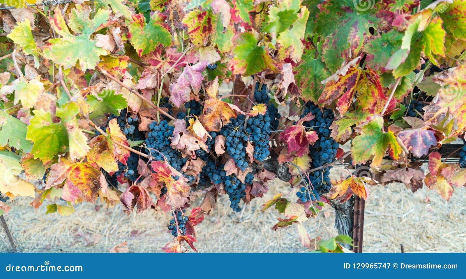Winogrona na winogradzie, Kalifornia wytwórnia win
