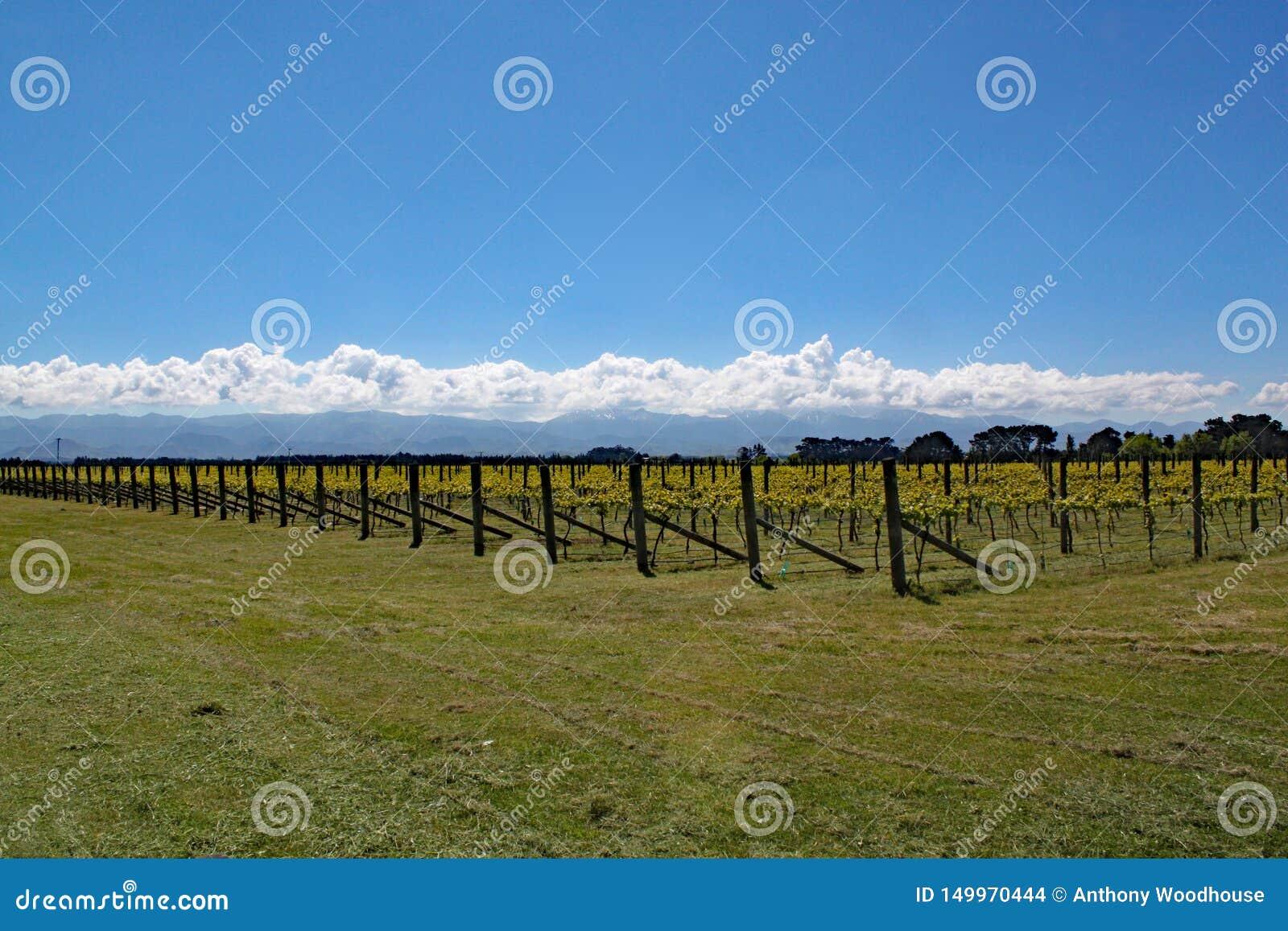 Winogrona r w wino terenie Martinborough w Nowa Zelandia
