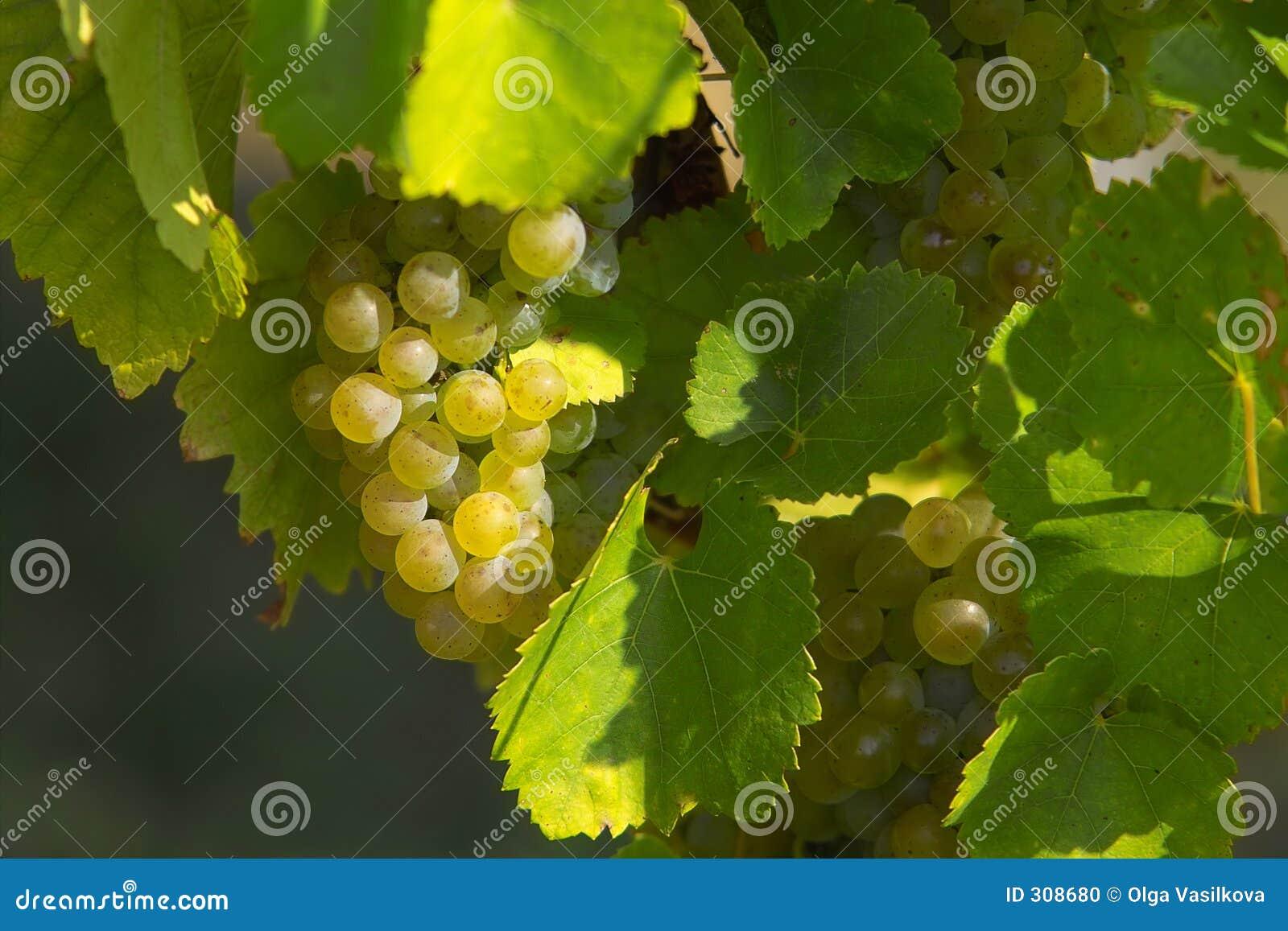 Winogrona skupisk