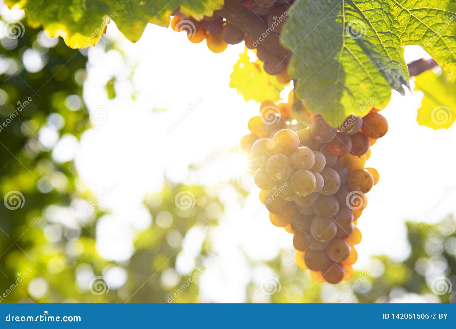 Winogrona w świetle słonecznym