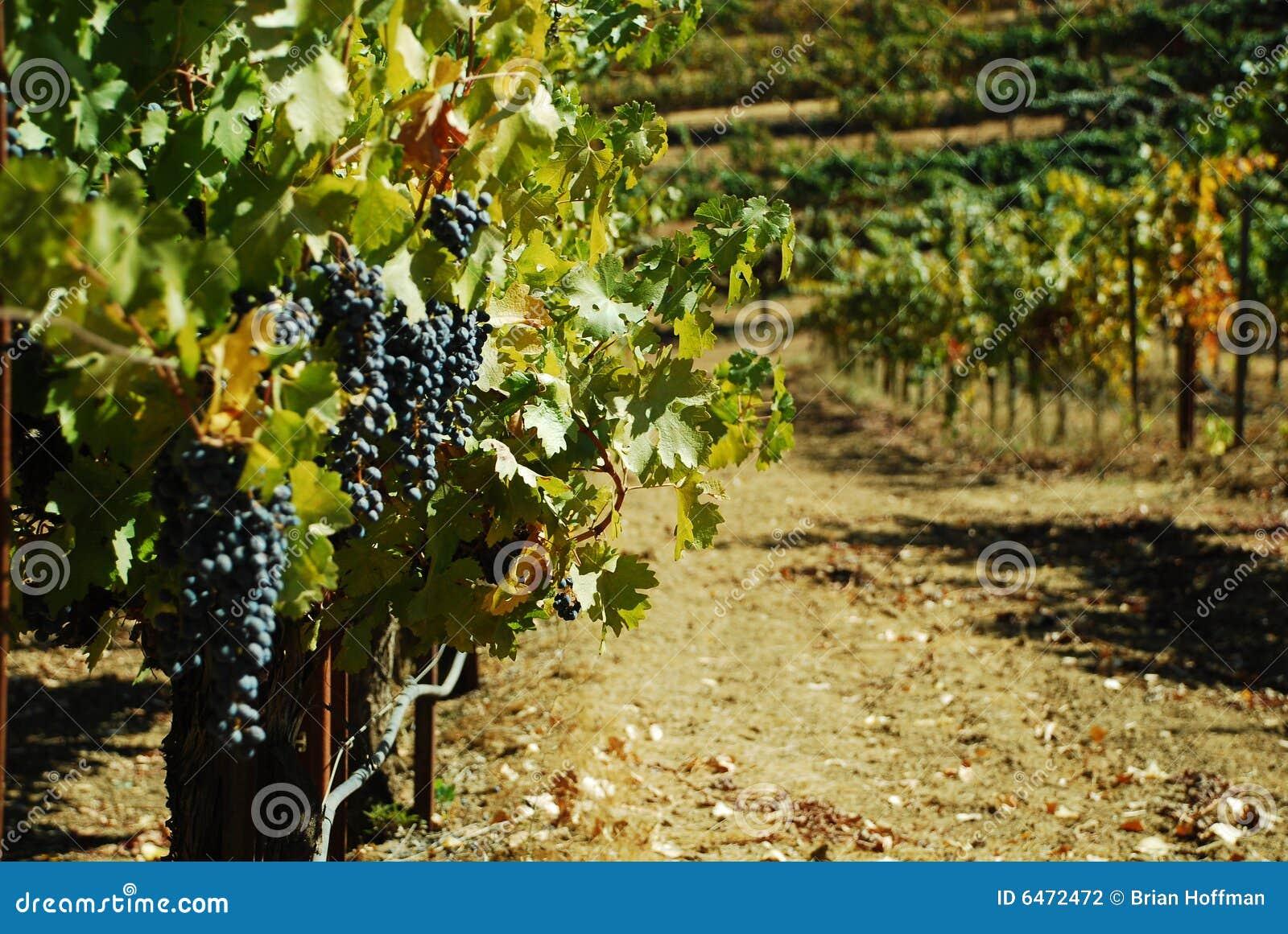 Winogrona winorośli