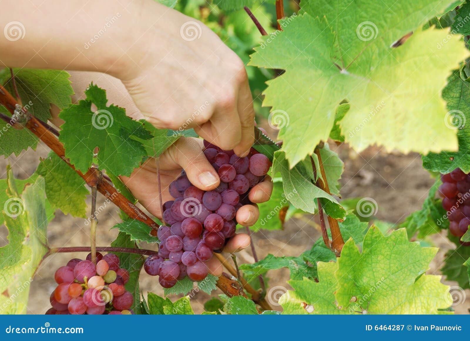 Winogrona zrywania