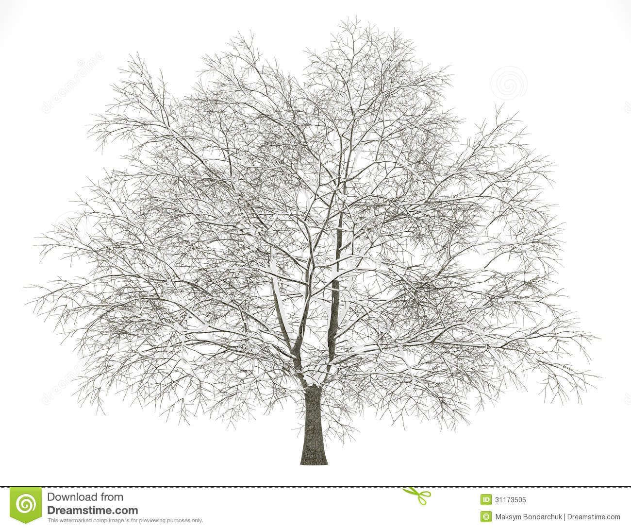 winter american beech tree isolated on white royalty free