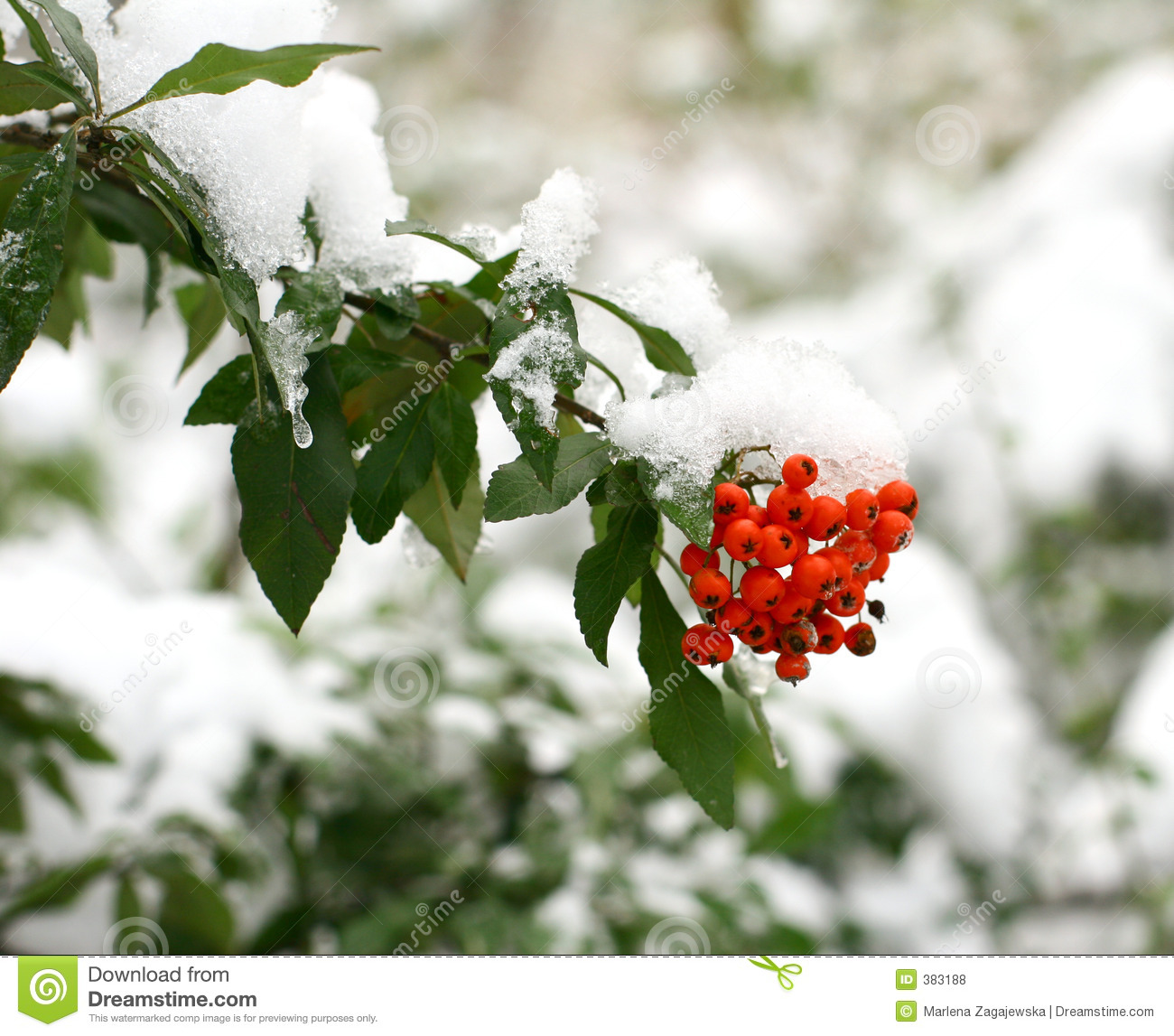 Winter ashberry