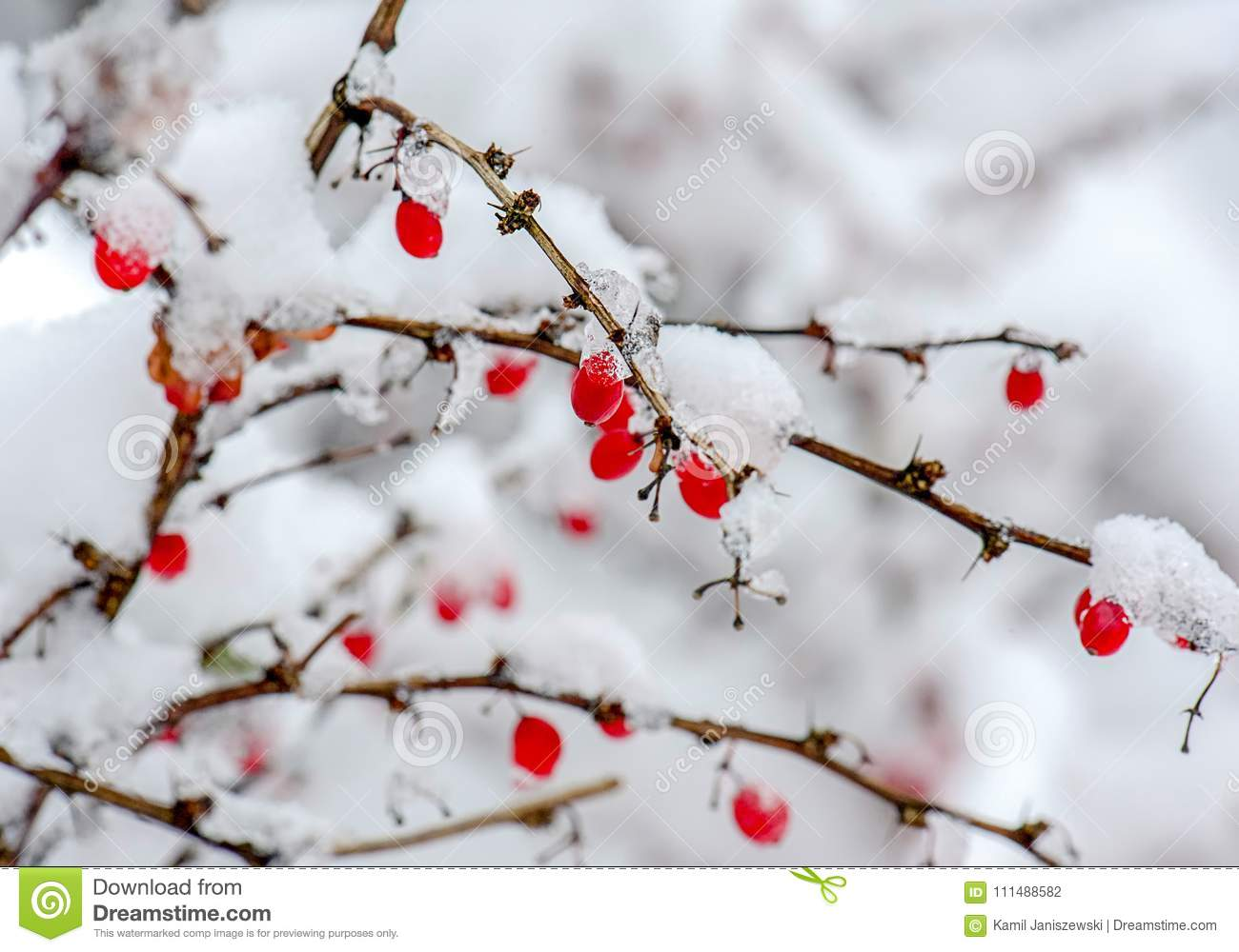 Frozen Red Berries Winter Wallpapers Quality