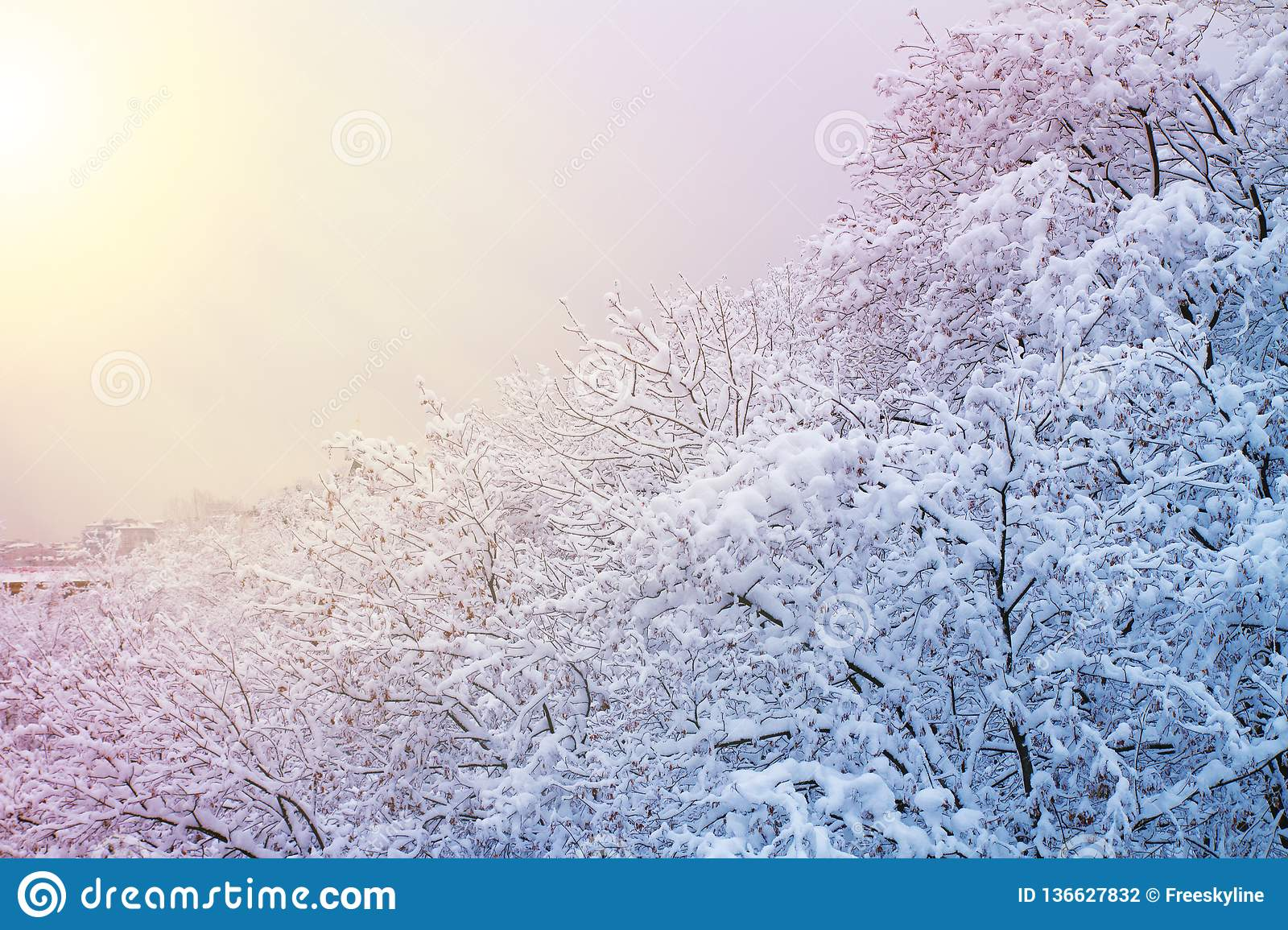 Winter background with snowy trees. Beautiful winter landscape with trees covered with snow in park, forest and sun.
