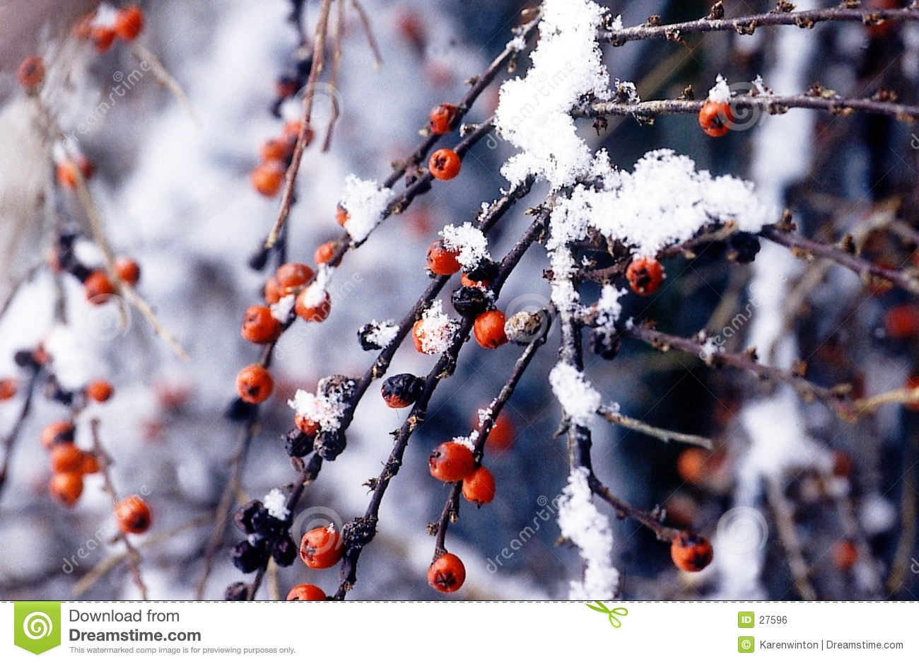 Winter berries in snow