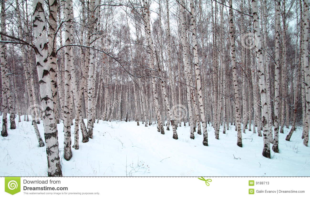 Birch trees in winter clip art a winter birch tree forest