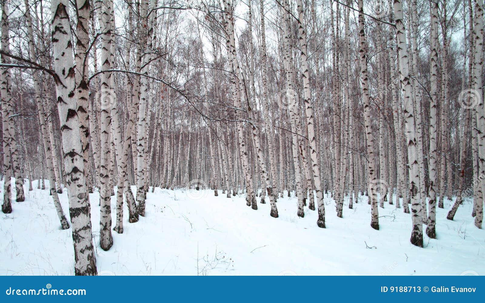Birch trees in winter clip art a winter birch tree forest