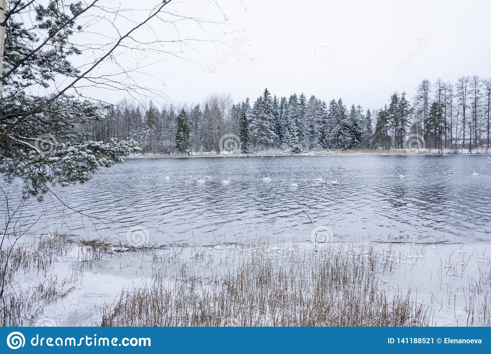 Winter calm landscape on a river with a white swans. Finland, river Kymijoki