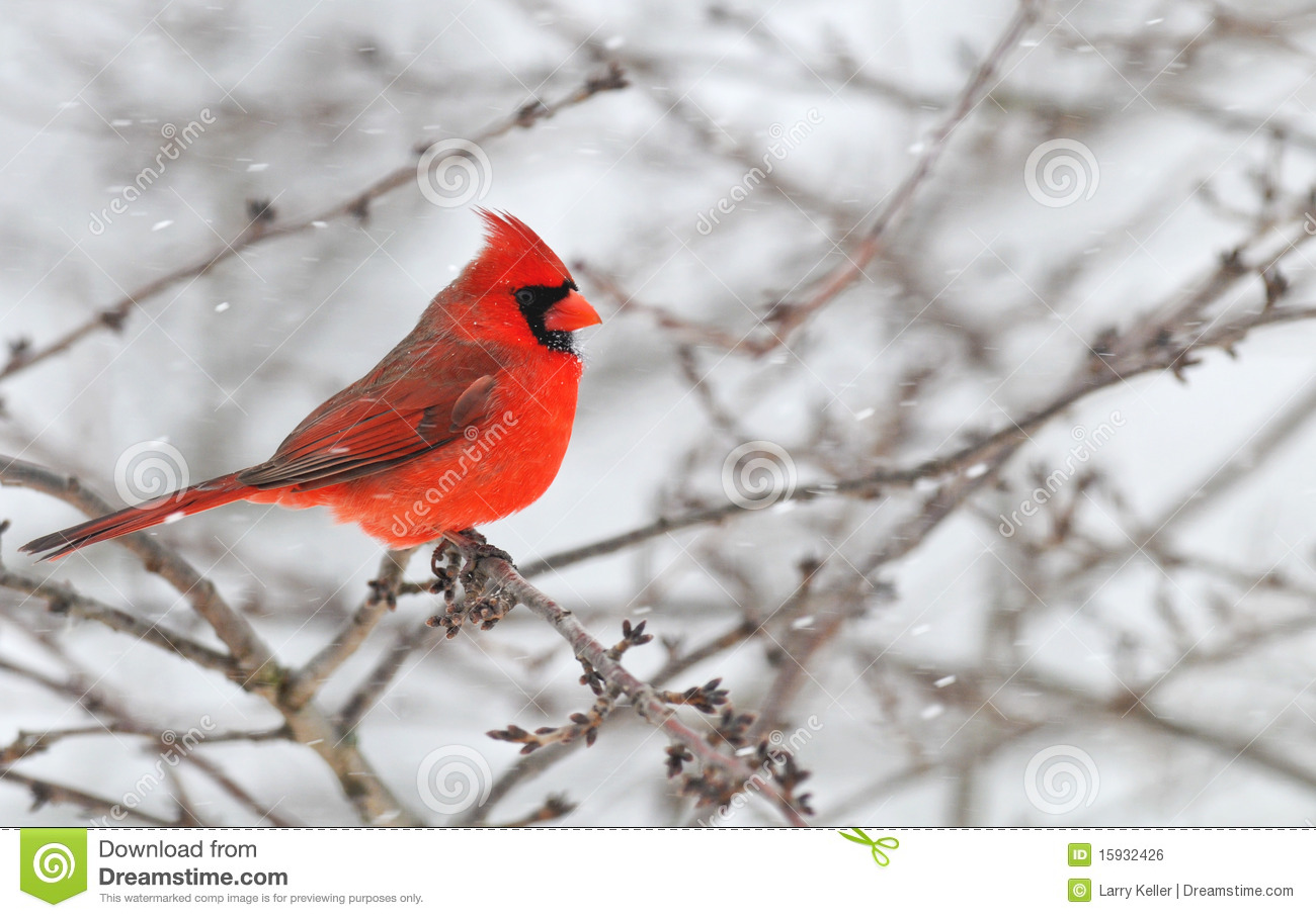 Winter Cardinal Male in snow