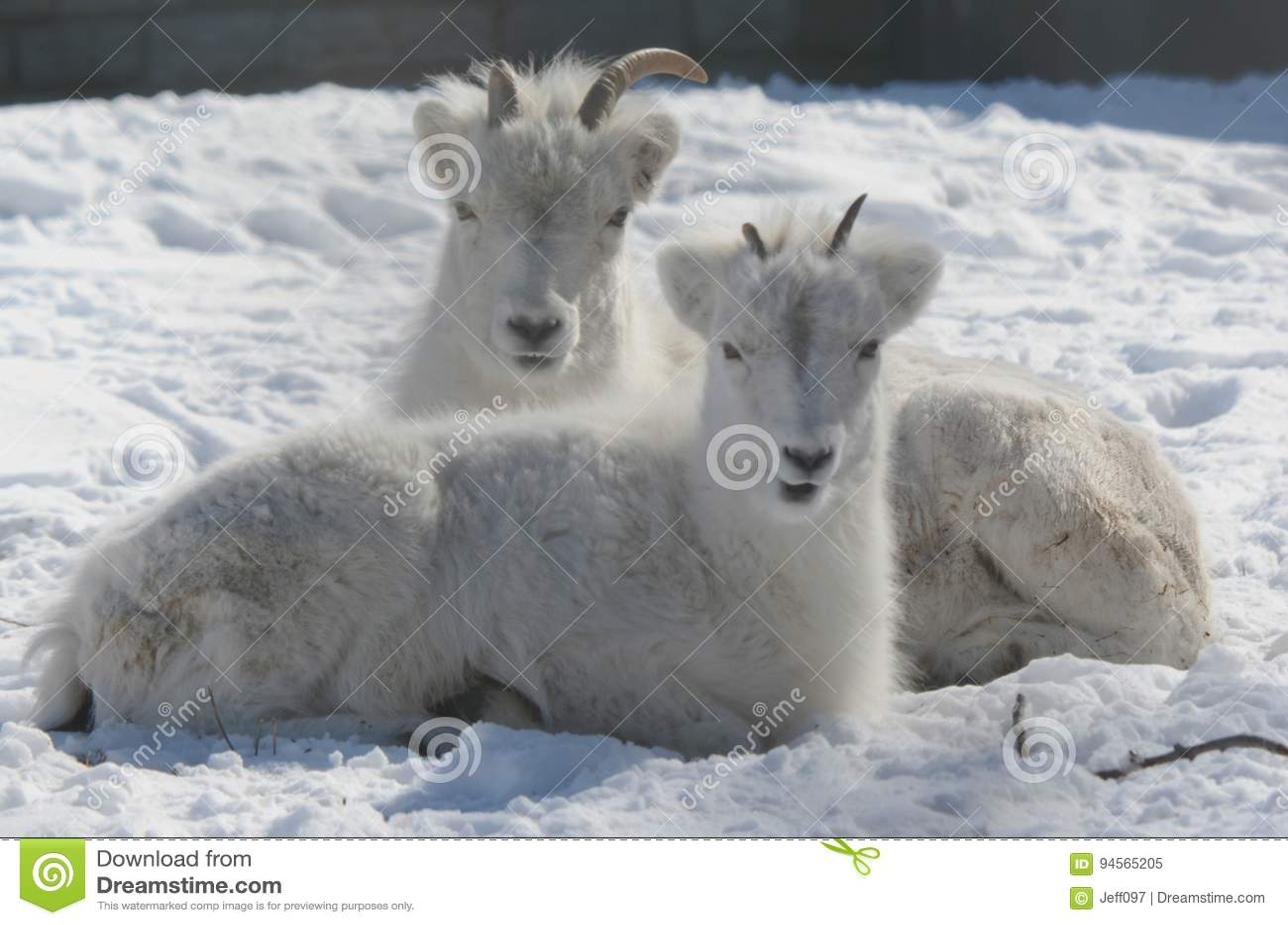 Winter Closeup Of Dall Sheep Ewe And Lamb