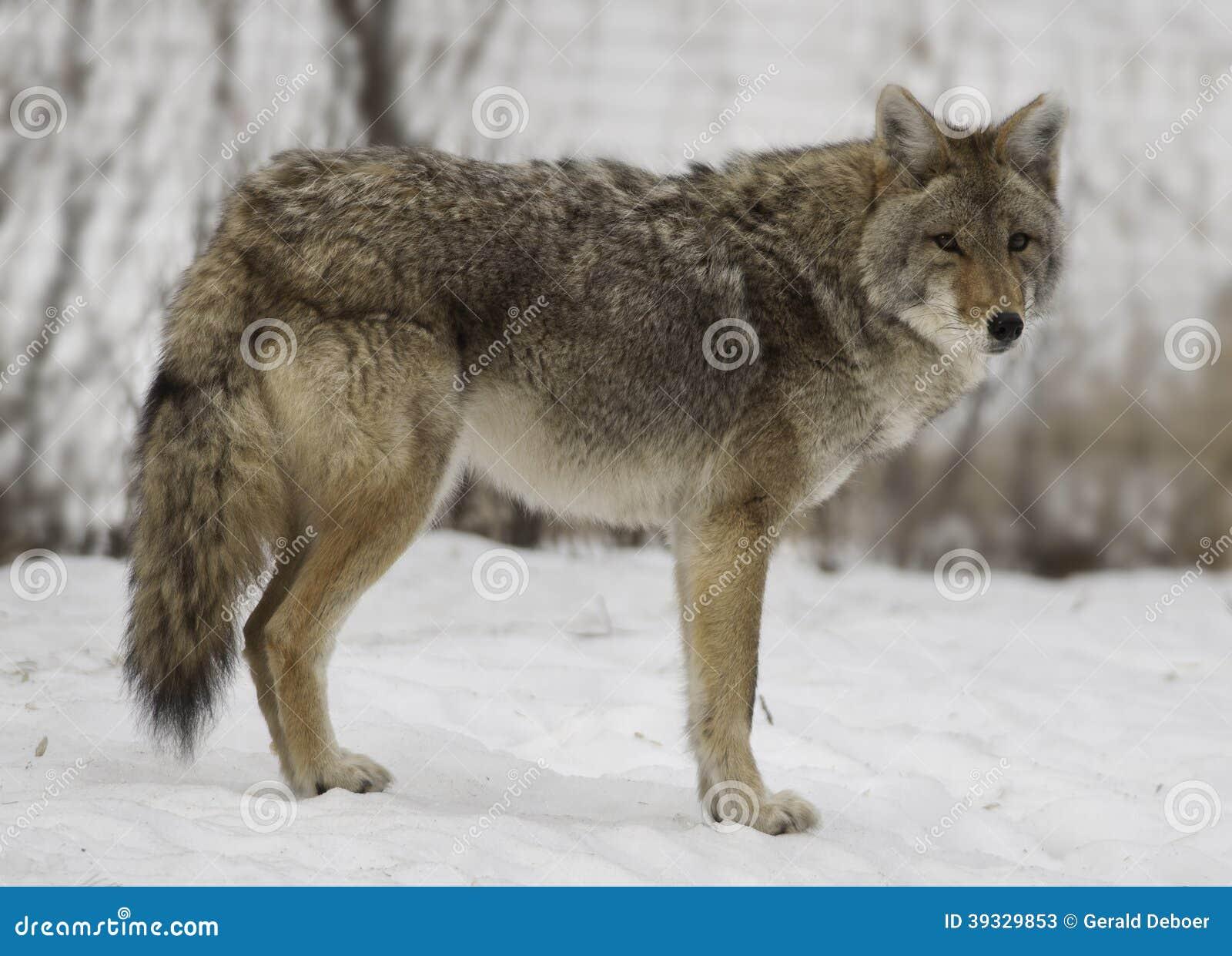 Winter Coyote Stock Photo Image 39329853