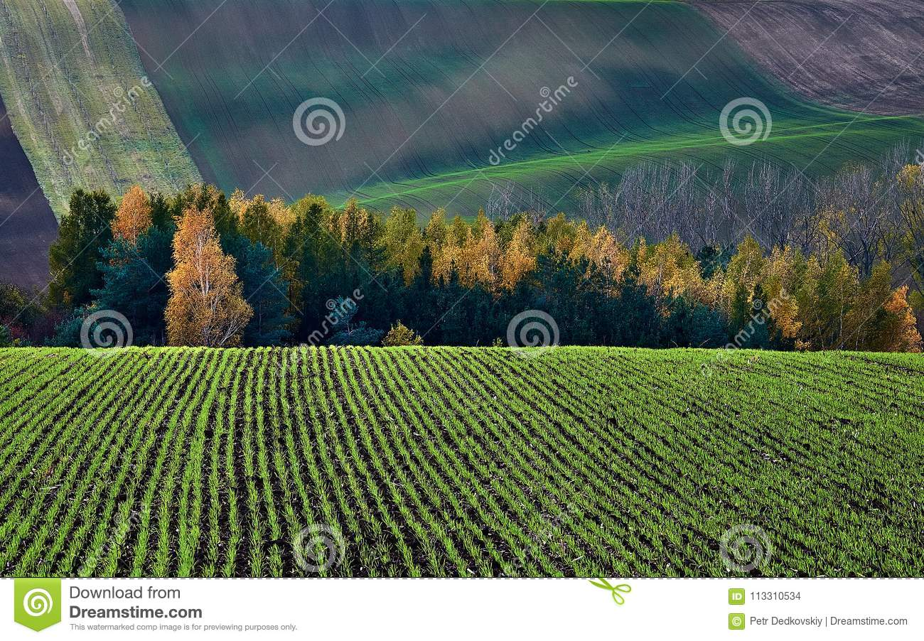 Winter crops in the backdrop of autumn bush and hills.South Moravia.Czech republic.