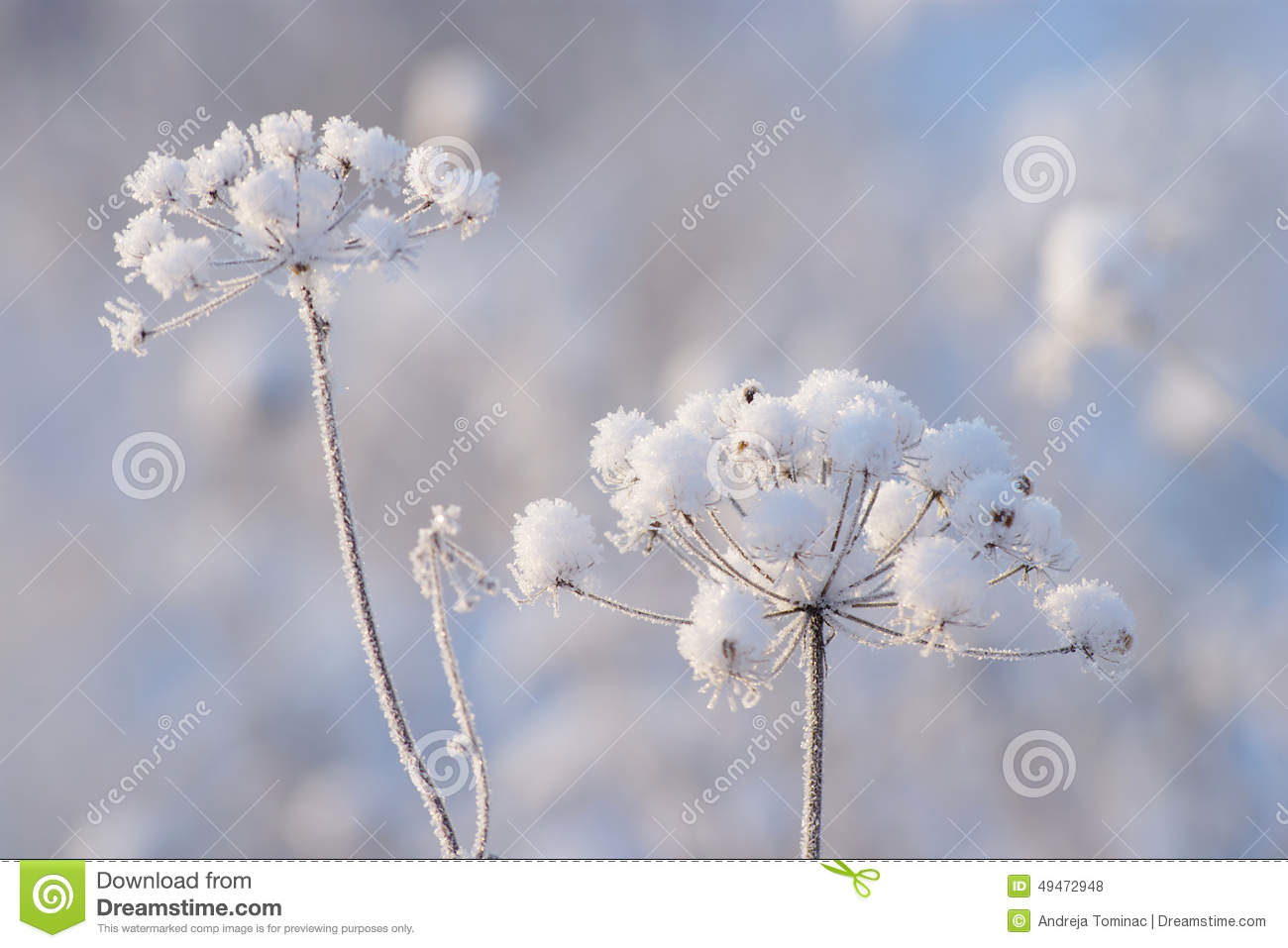 Good Morning Winter Flower : Winter detail stock photo image