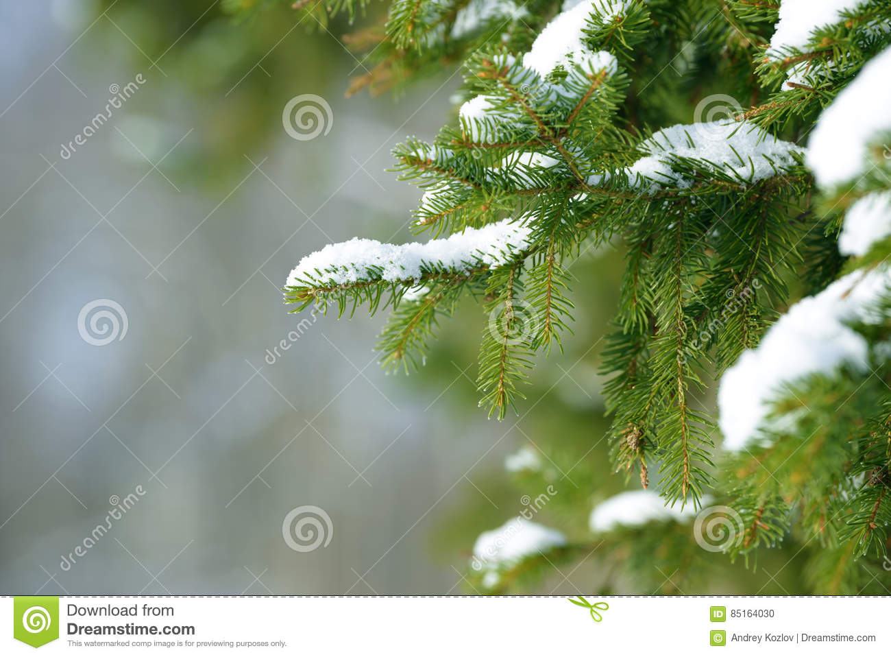snowy forest white tree branches winter themed winter fir tree branches covered with snow frozen tree 255
