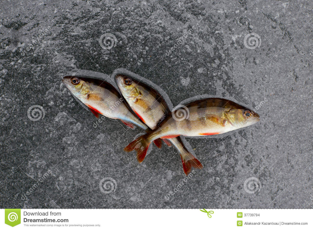 Winter fishing perch fish on ice stock photo image for Ice fishing perch