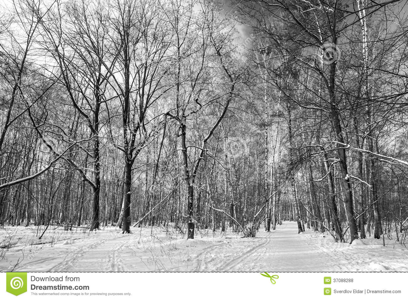 Black and White snow forest image - Free stock photo ... |Winter Forest Black And White