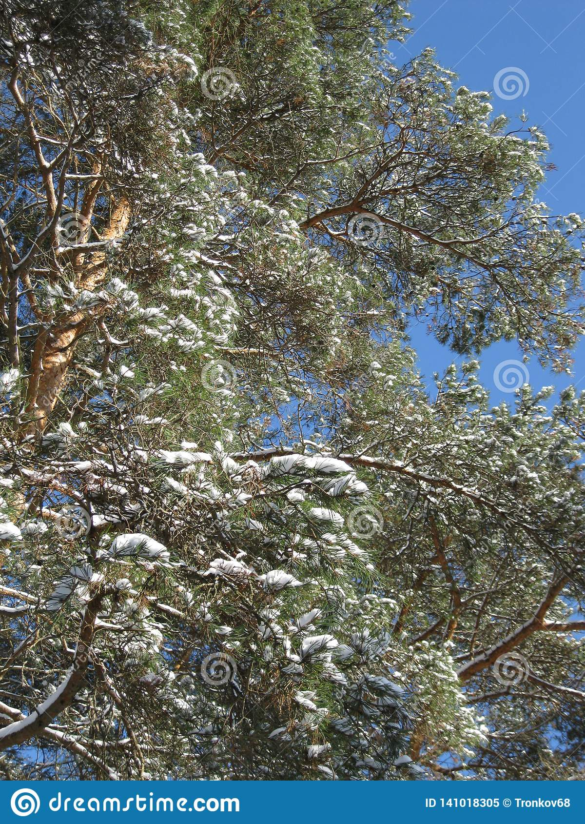 Winter forest covered with blue sky.