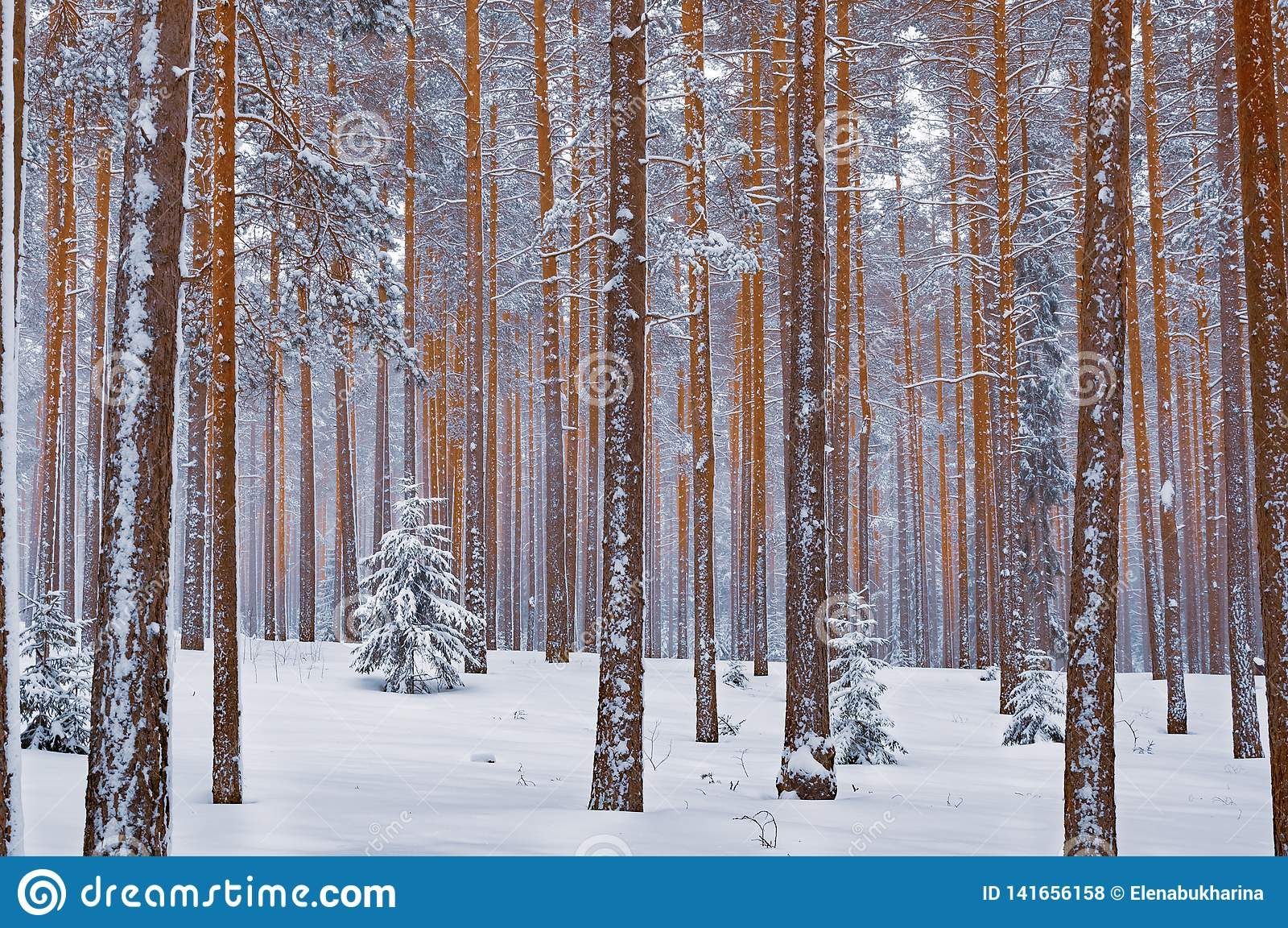 Winter Forest Landscape Snow Covered Fir Tree Surrounded By Pines Stock Photo Image Of Beauty Pine 141656158