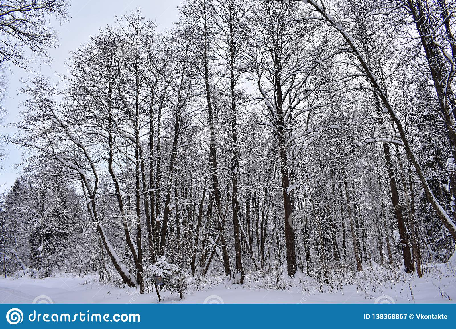 Winter forest is like a huge Palace, where winter lives, harsh trees, like guards, stand still