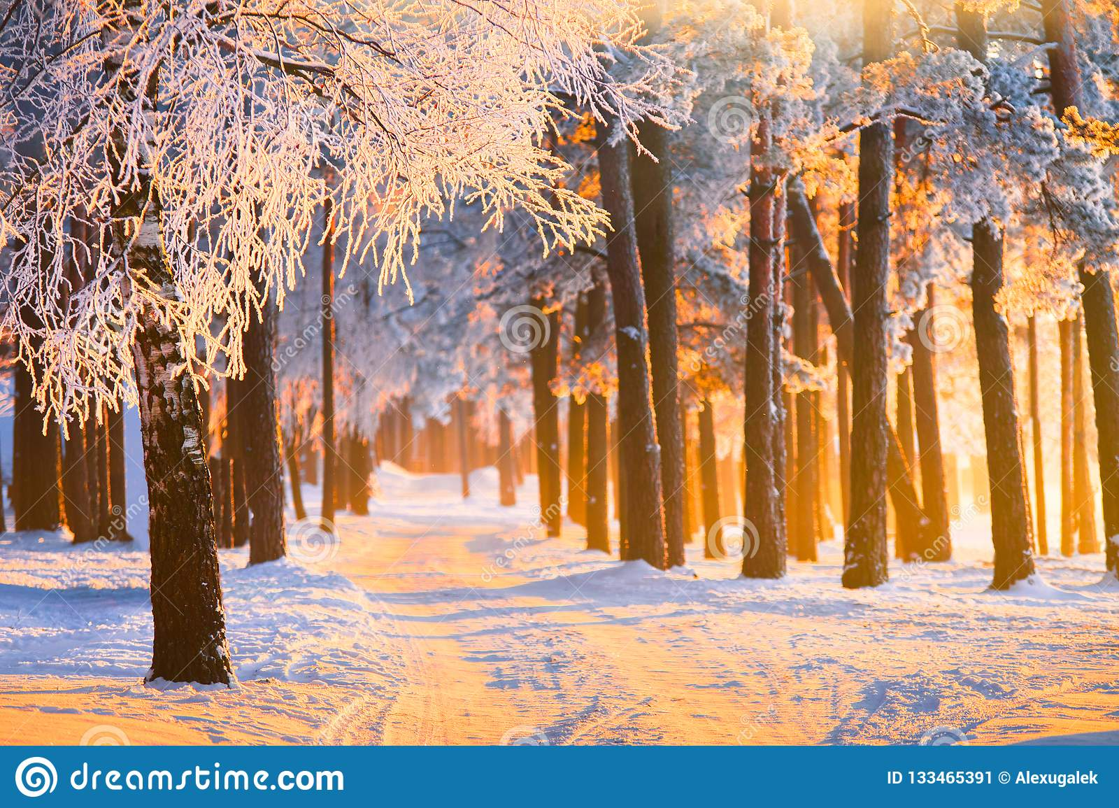 Winter forest with magical sunlight. Landscape with frosty winter forest on Christmas morning.