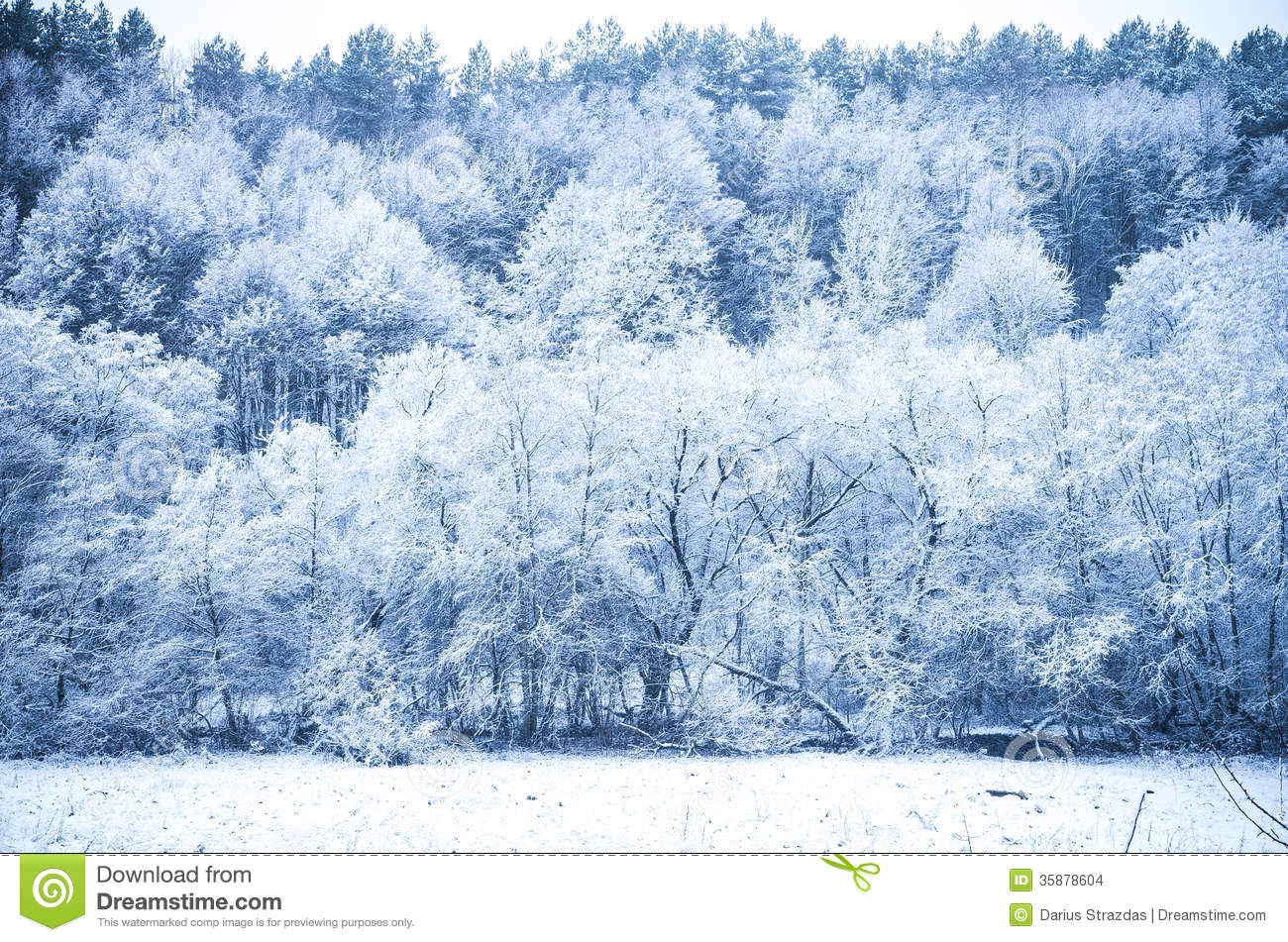 Winter forest with trees covered in frost rime