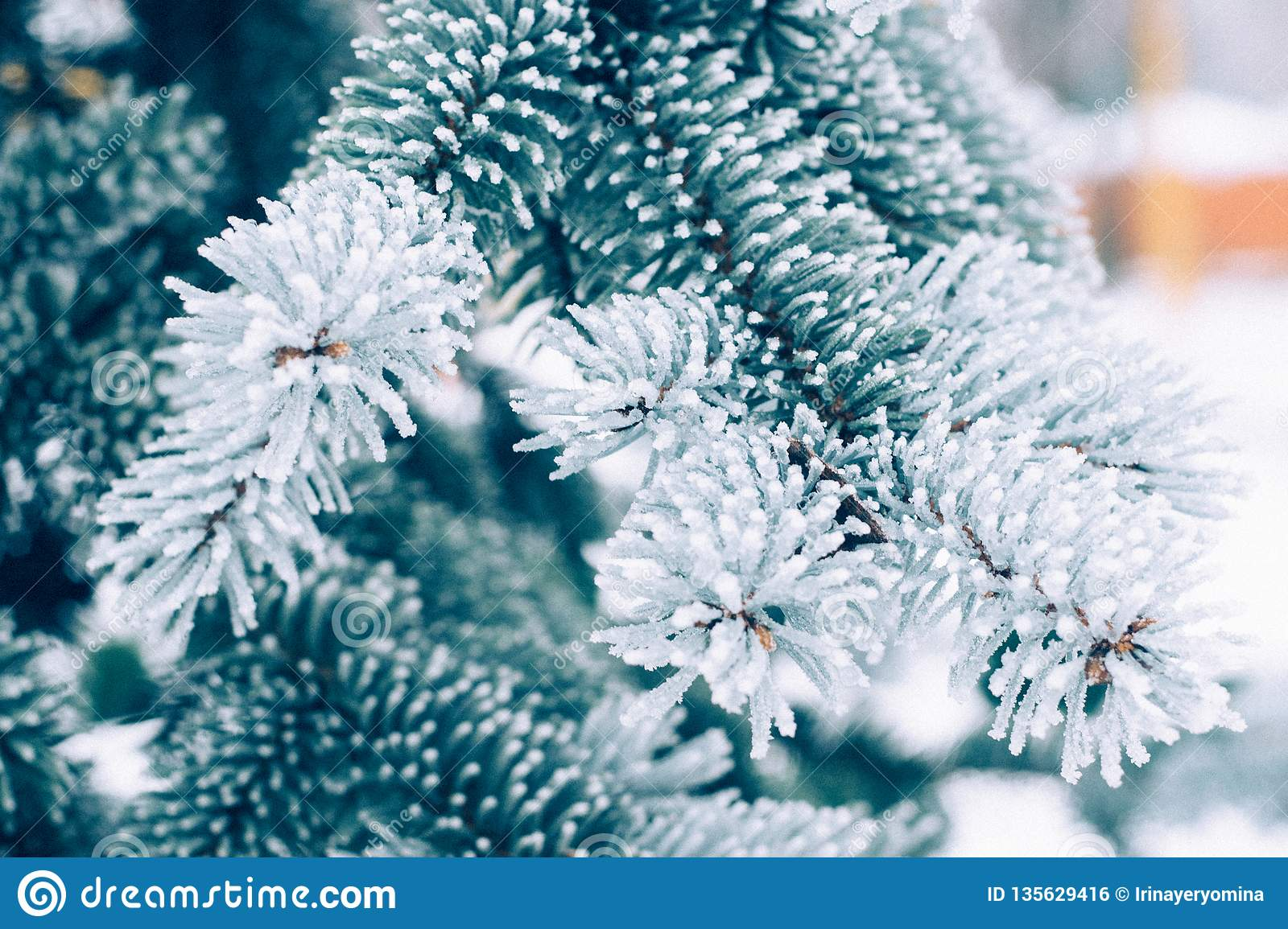 Winter frost Christmas evergreen tree background. Ice covered blue spruce branch close up. Frosen branch of fir tree covered with