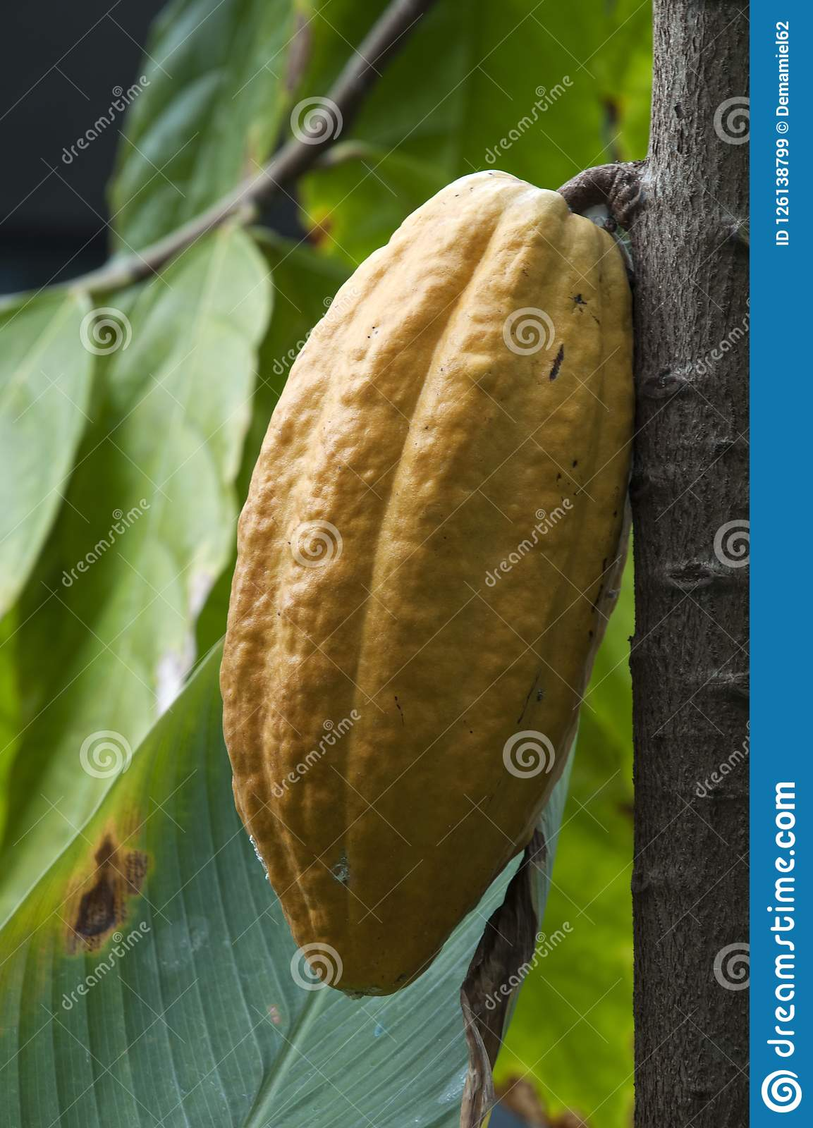 Fruit of a chocolate or theobroma cacao tree