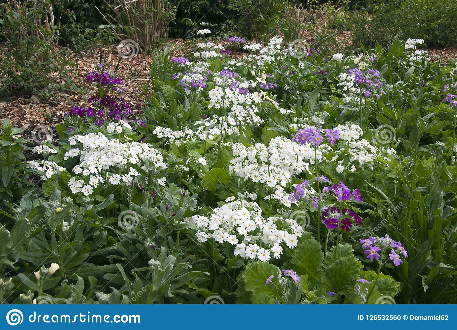 Primula Flowers Blooming Signalling Spring Is Coming Stock Photo