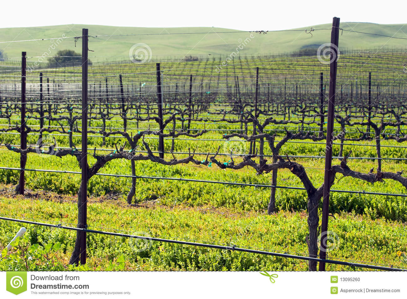 Getting Ready For Spring Winter Grape Vines Getting Ready For Spring Stock Photo
