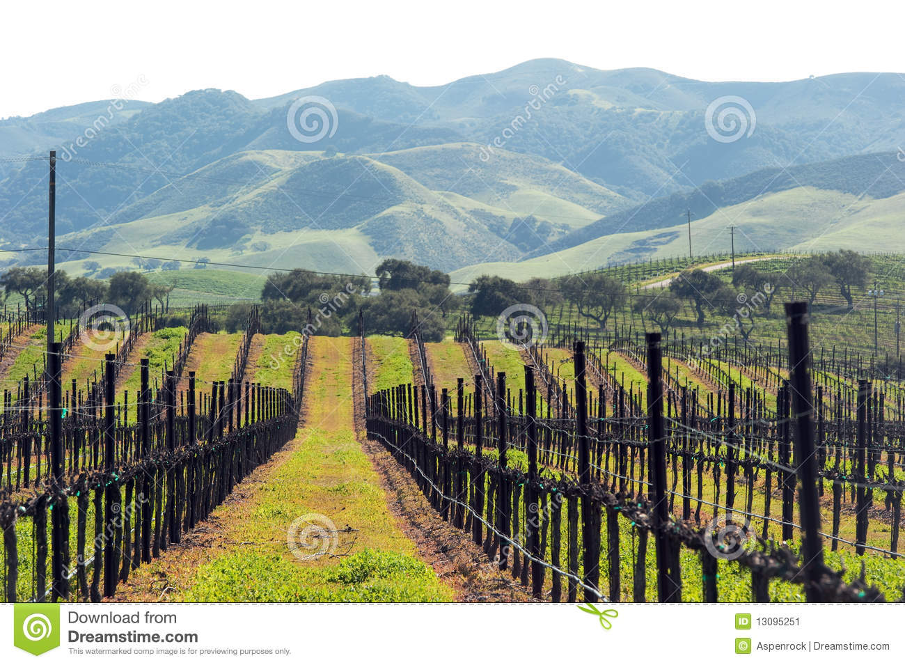 Winter grape vines ready for spring