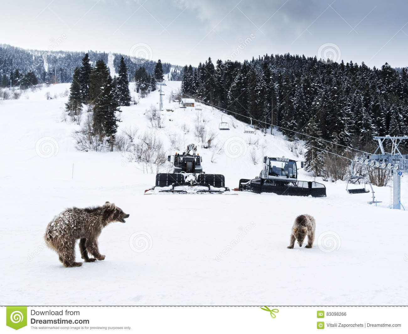 https://thumbs.dreamstime.com/z/winter-greater-caucasus-mountains-two-brown-bear-cubs-playing-georgia-country-mestia-ski-resort-svaneti-svanetia-region-83098266.jpg