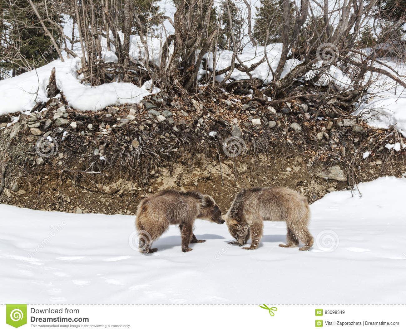 https://thumbs.dreamstime.com/z/winter-greater-caucasus-mountains-two-brown-bear-cubs-playing-georgia-country-mestia-ski-resort-svaneti-svanetia-region-83098349.jpg
