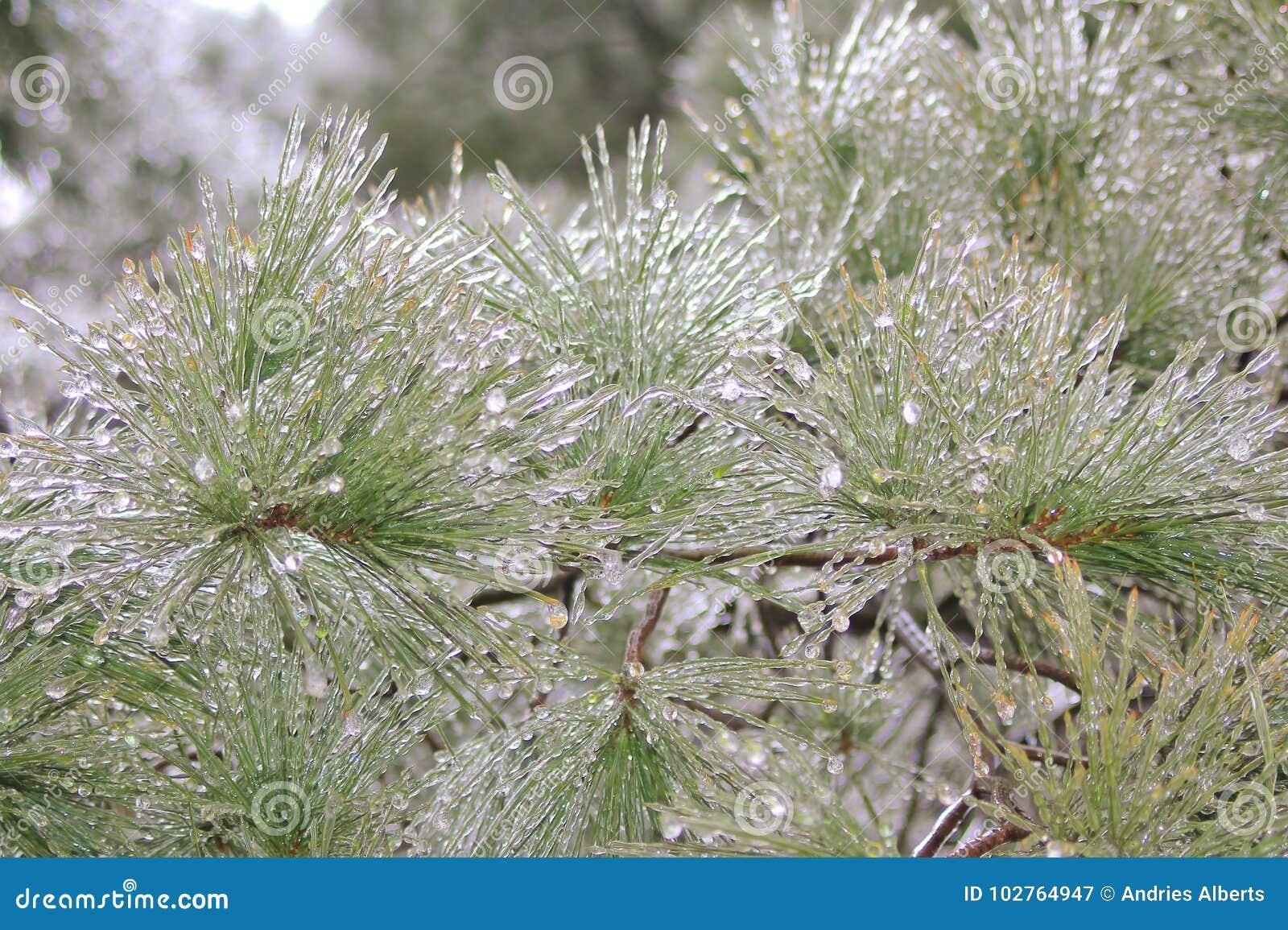 Winter Ice - Cold Weather Background - Pine Tree Needle