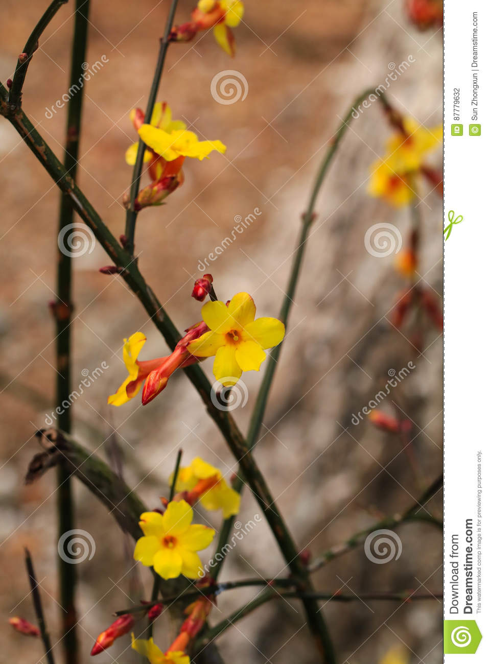 Winter jasmine stock photo image of flower yellow bloom 87779632 flowering the first spring flowers bloom spring to and is a flourishing season izmirmasajfo