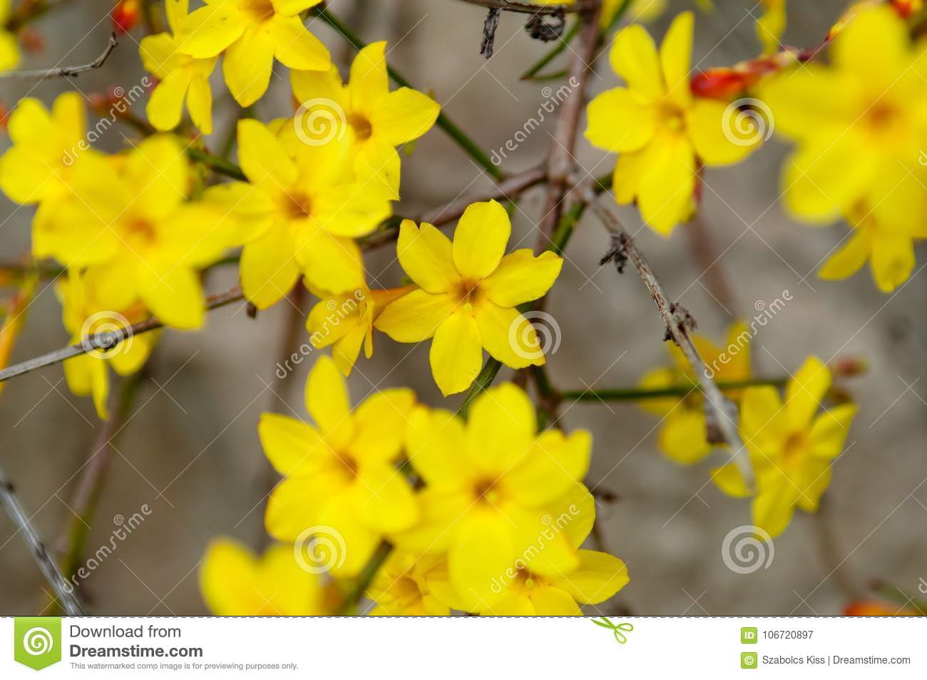 Winter jasmine jasminum nudiflorum yellow flower stock image image winter jasmine jasminum nudiflorum yellow flower izmirmasajfo