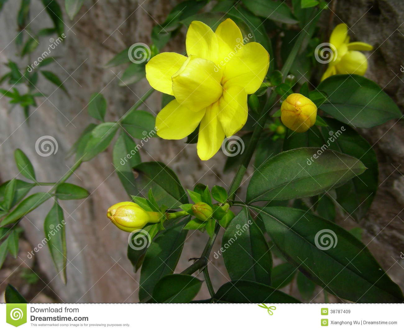 Winter jasmine with yellow flowers stock image image of closeup winter jasmine with yellow flowers izmirmasajfo