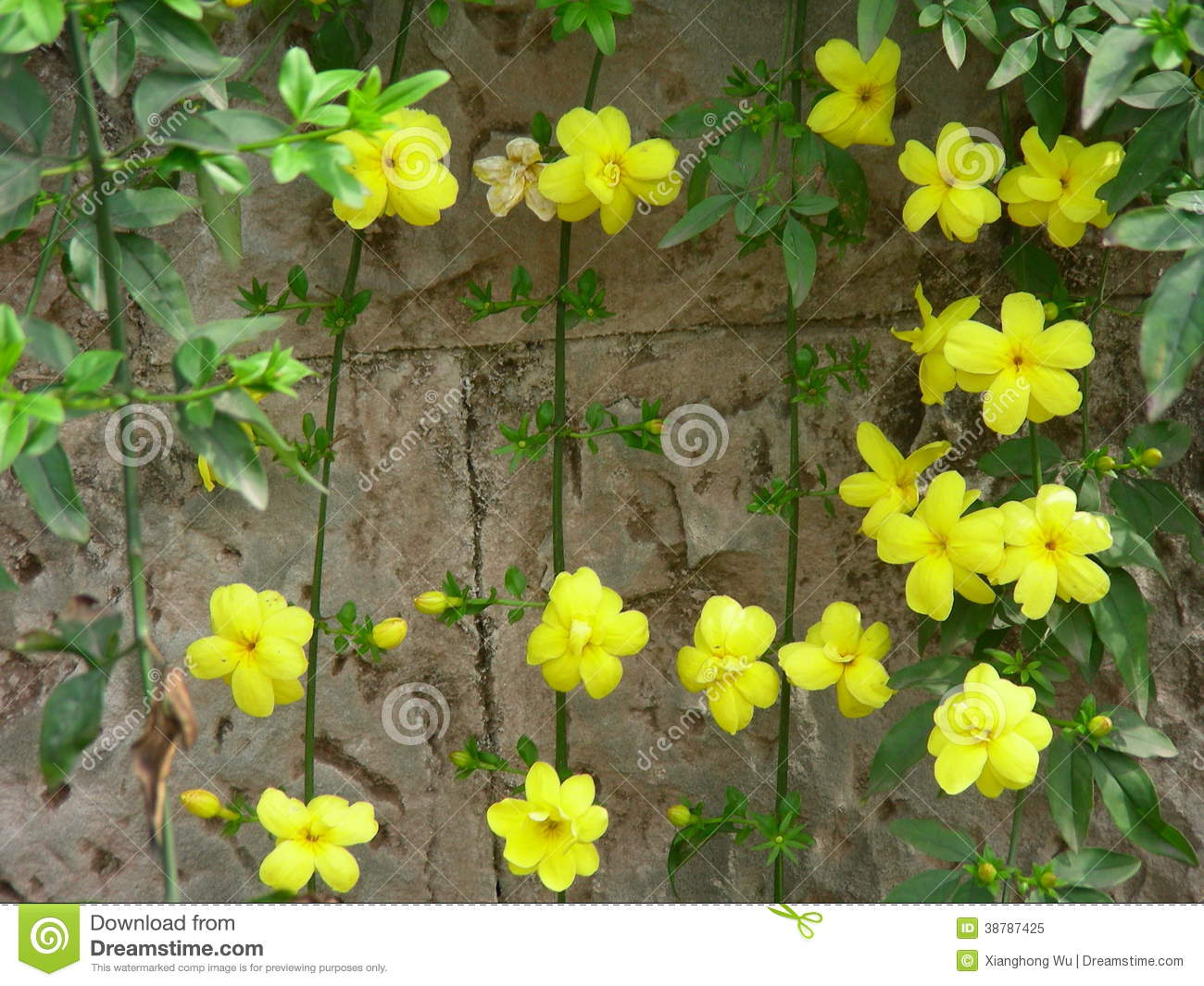Winter jasmine with yellow flowers stock image image of life download winter jasmine with yellow flowers stock image image of life closeup 38787425 izmirmasajfo