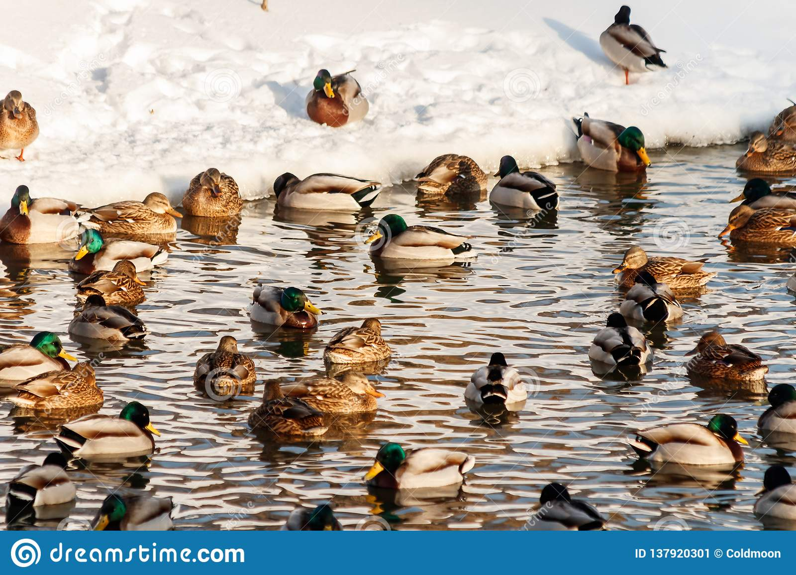 Winter lake with ducks by swans on snow