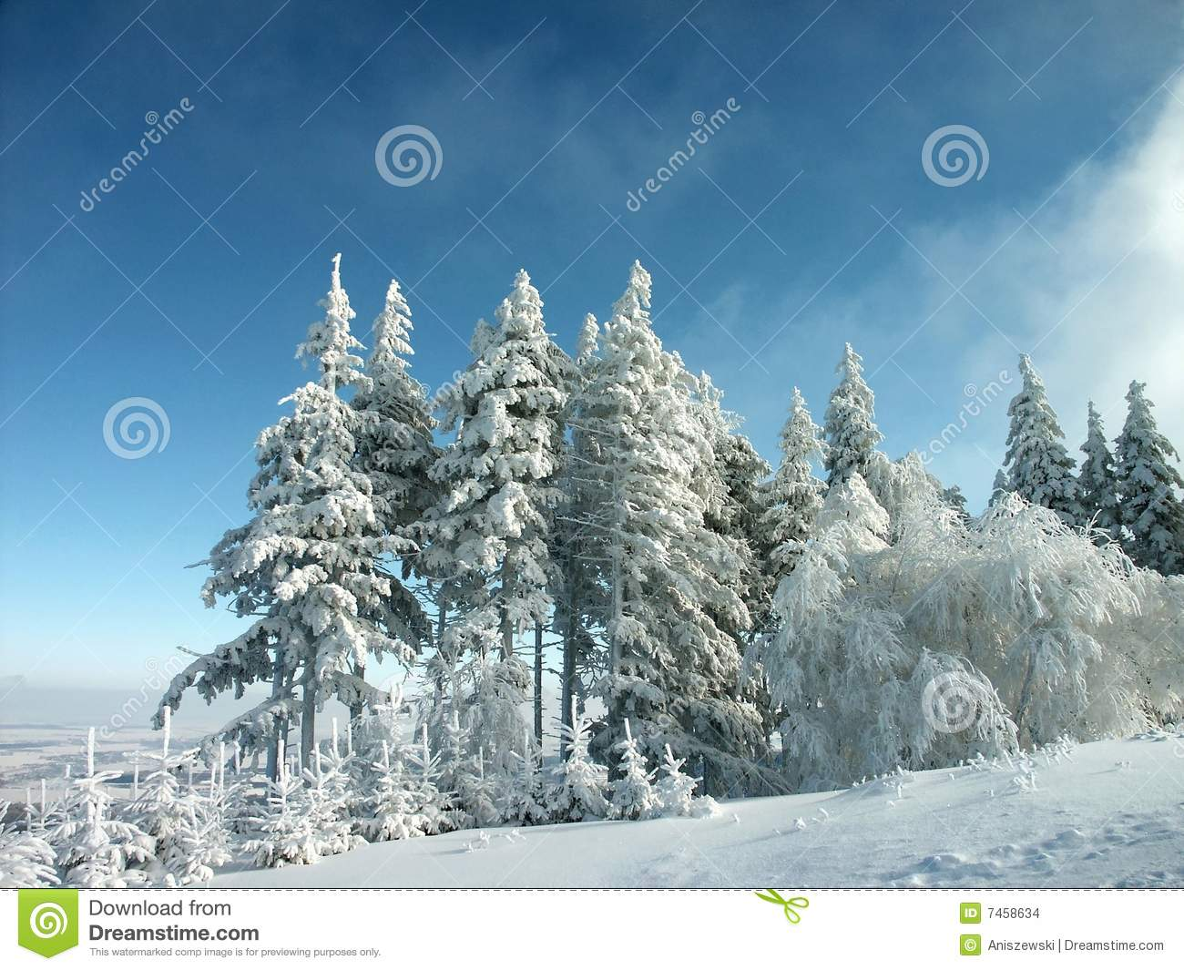 winter landscape, frost covered pine trees