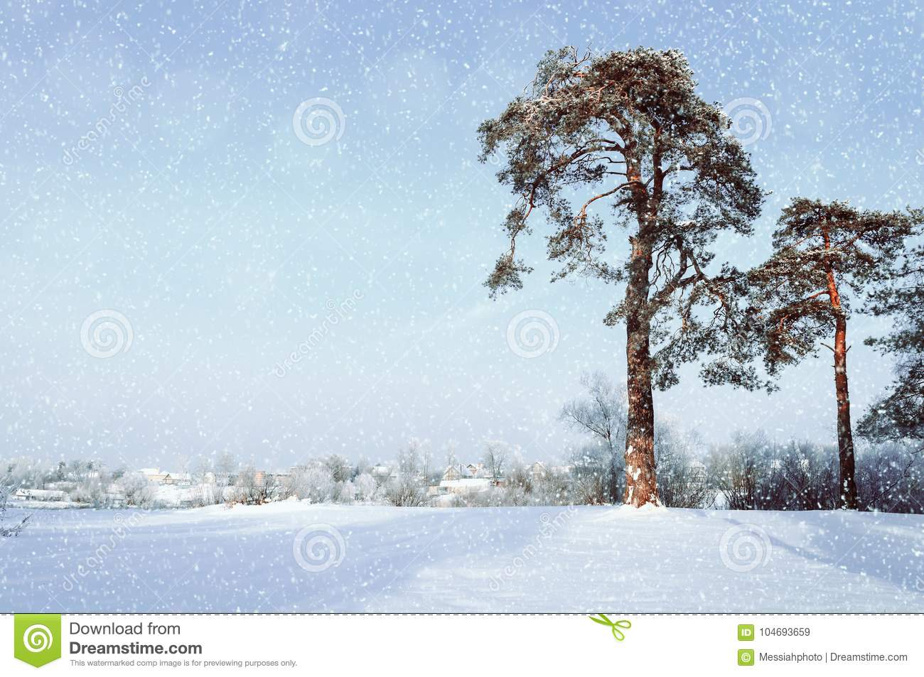 Winter landscape. Frosty pine trees in the winter forest and village on the background