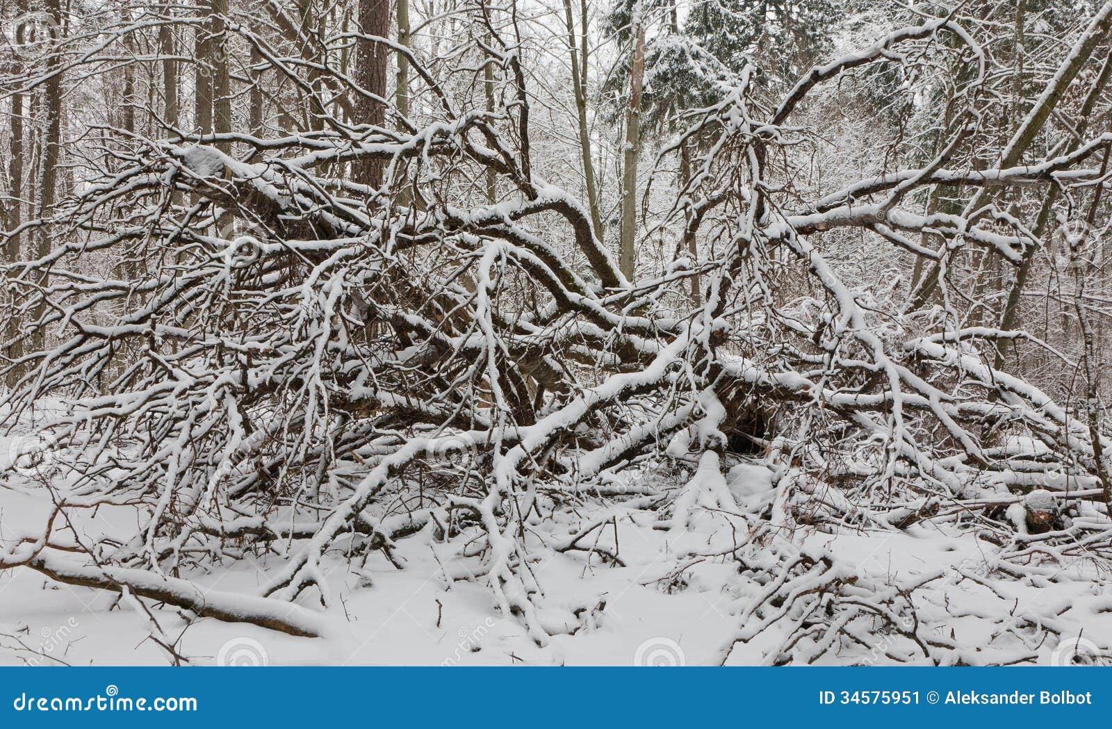 Birch trees in snow at night birch trees stock image