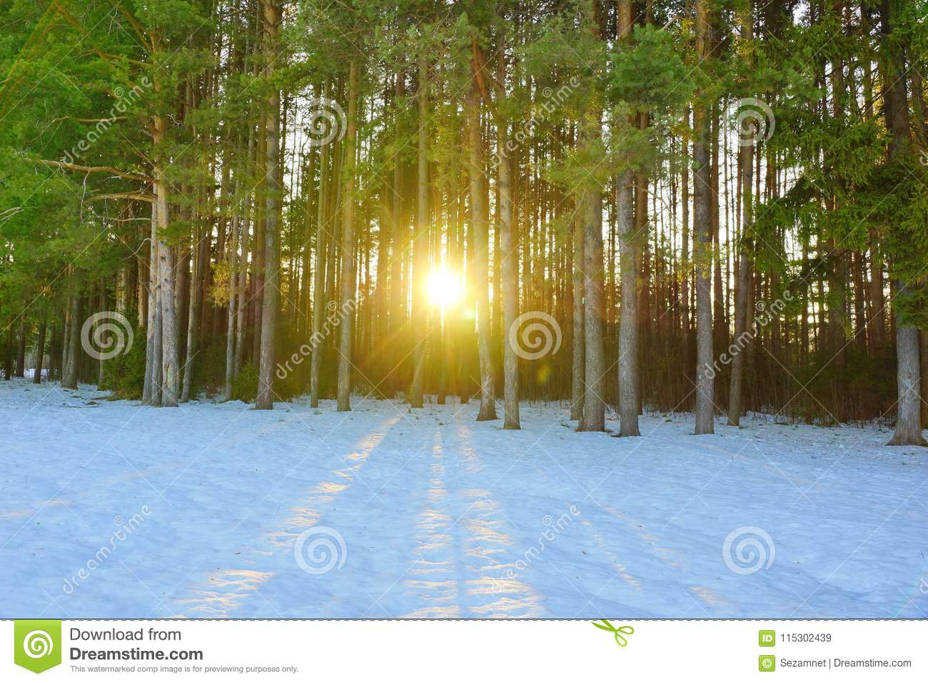 winter landscape in a pine forest the sun shines through the trees shadows in the snow