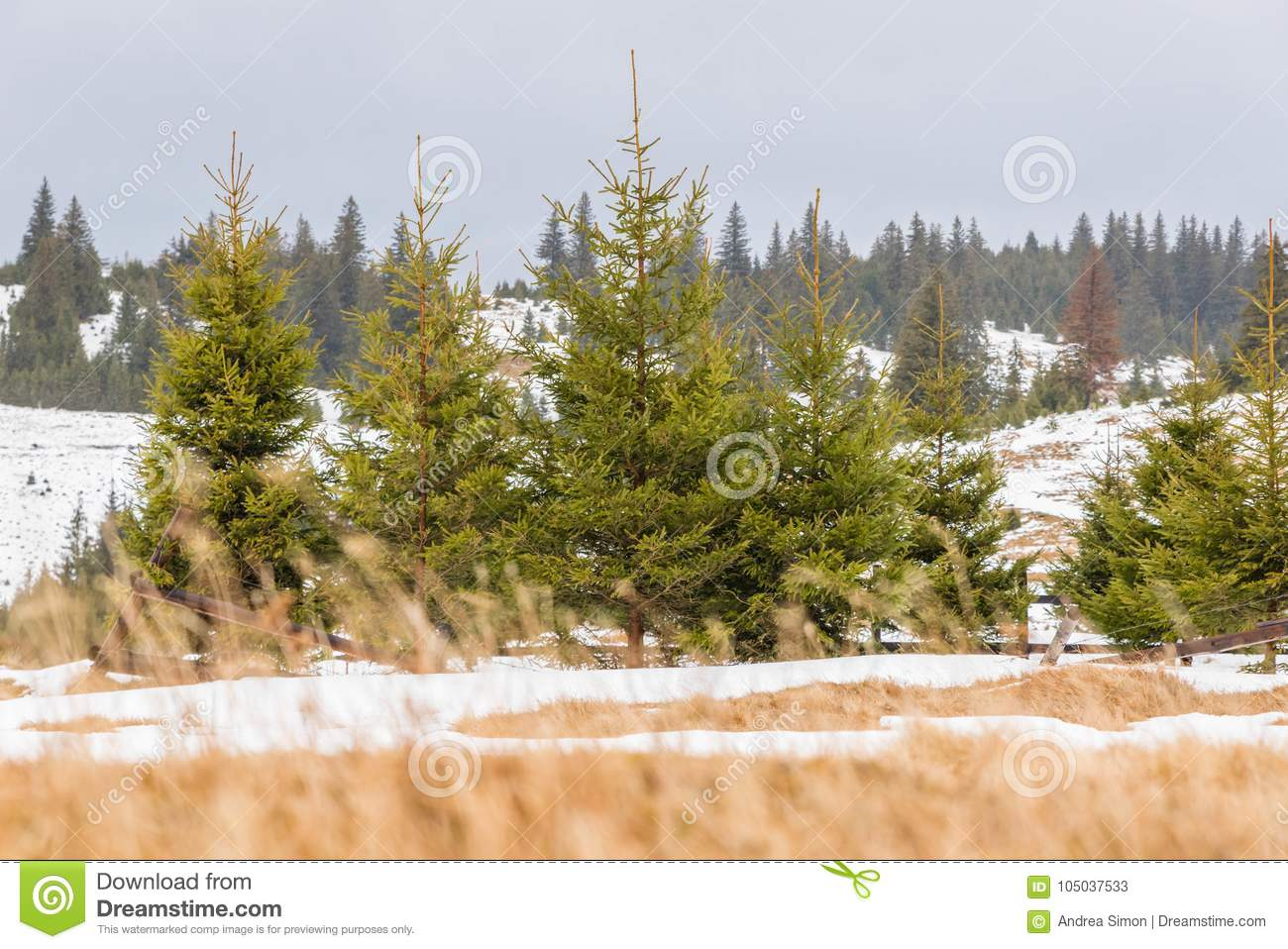 Winter landscape with pine trees