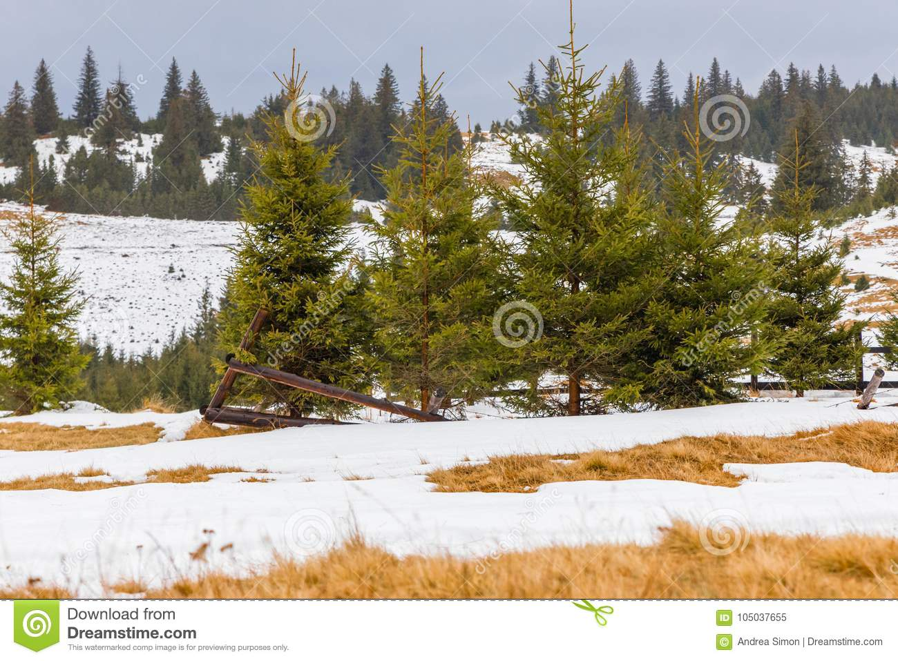 Winter landscape and pine trees