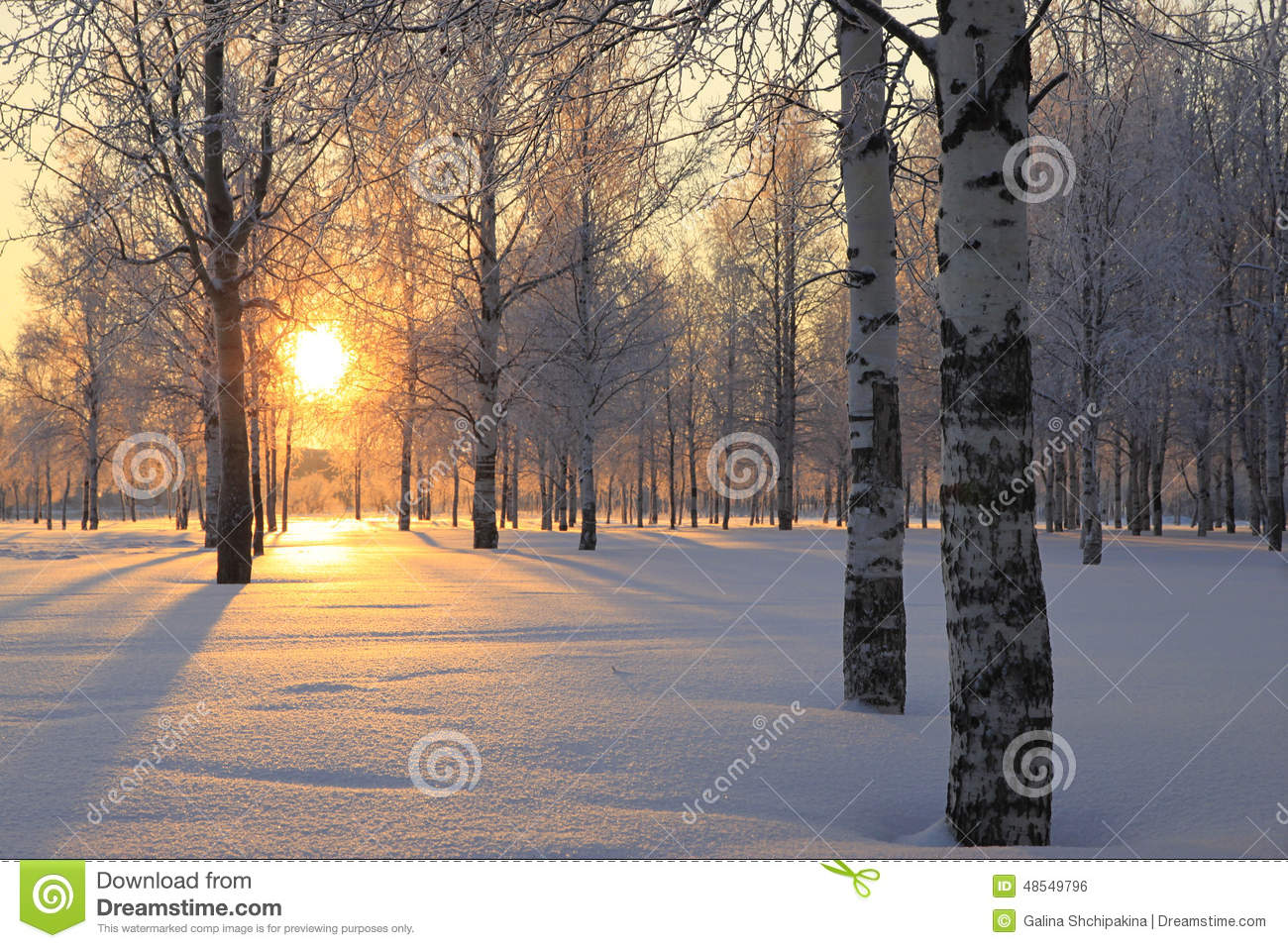 Winter landscape with white birch trees
