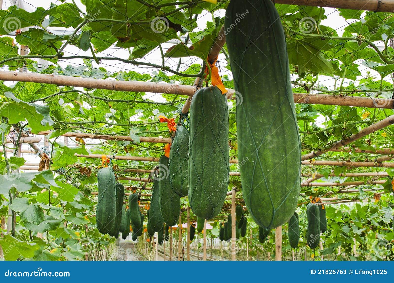 winter melon stock image image of plant soup food. Black Bedroom Furniture Sets. Home Design Ideas