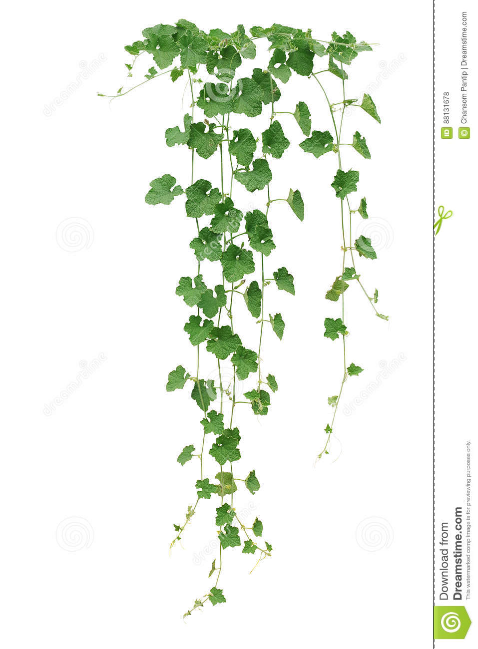 Winter melon or wax gourd vines with thick green leaves and tend